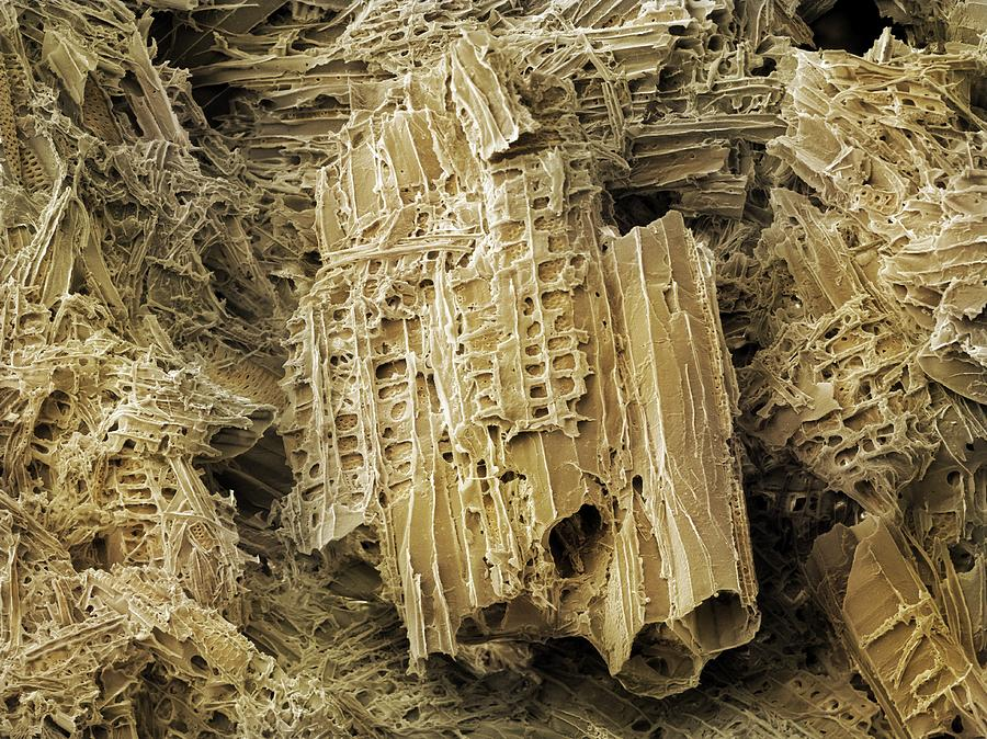 Cellulose Photograph - Wasp Nest Material (sem) by Science Photo Library