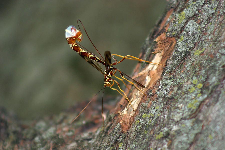 Wasp Photograph - Wasphornet by Mark Russell
