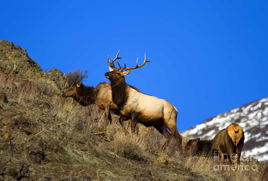 Elk Photograph - Watchful Bull by Mike  Dawson