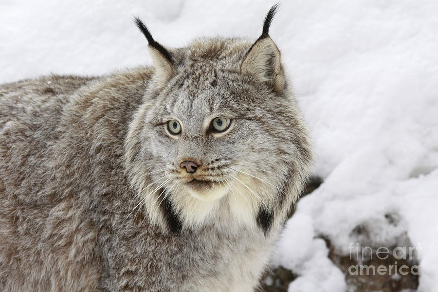 Watcher Photograph - Watchful Canadian Lynx by Inspired Nature Photography Fine Art Photography