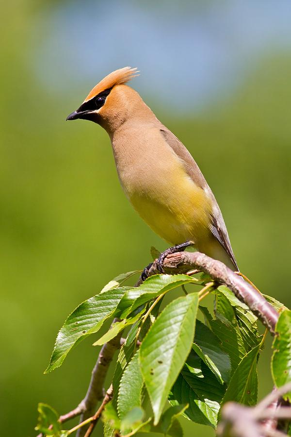 Watchful Cedar Waxwing by Mike Farslow