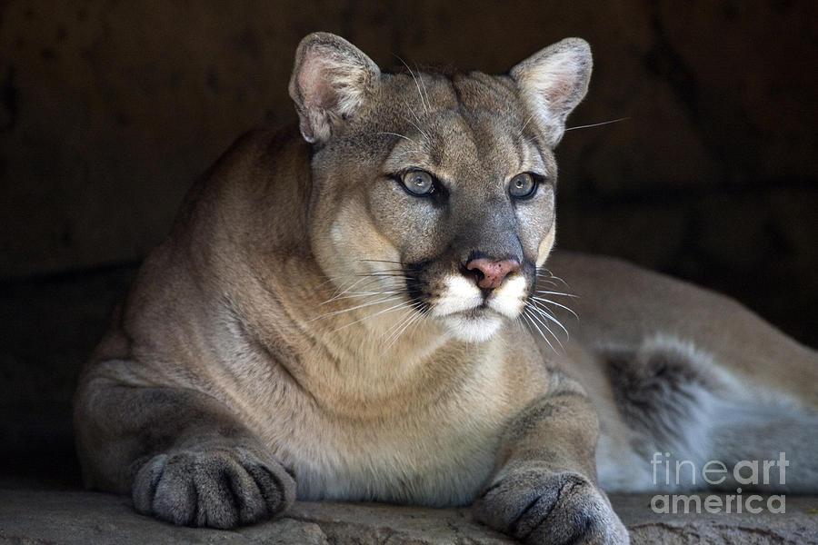 Mountain Lion Photograph - Watchful Cougar by John Van Decker