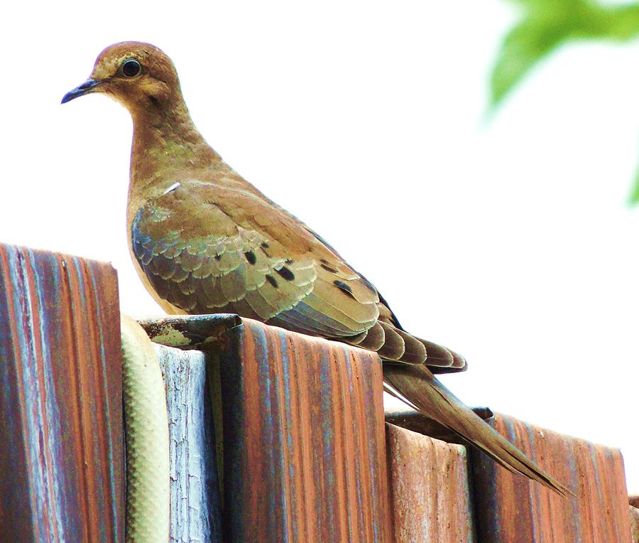 Dove Photograph - Watchful Dove by Helen Carson