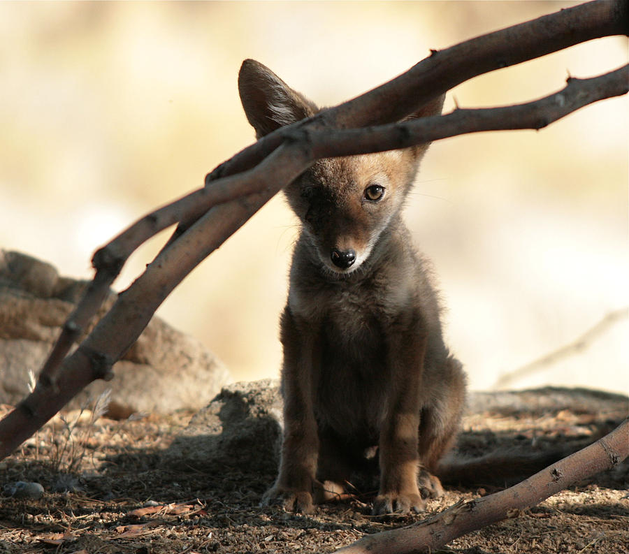 Coyote Pup Photograph - Watching by Diana Shay Diehl