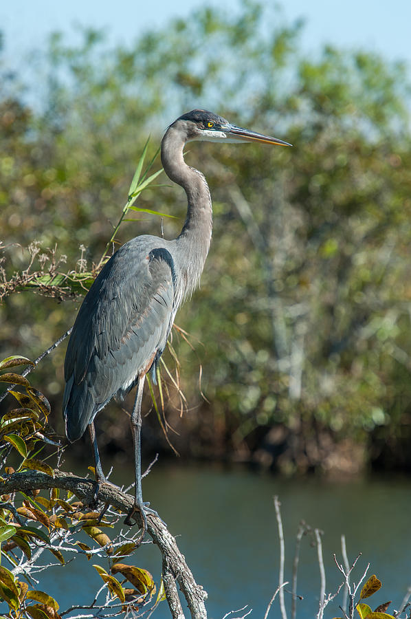Great Blue Heron Photograph - Watching for Opportunities by Paul Johnson