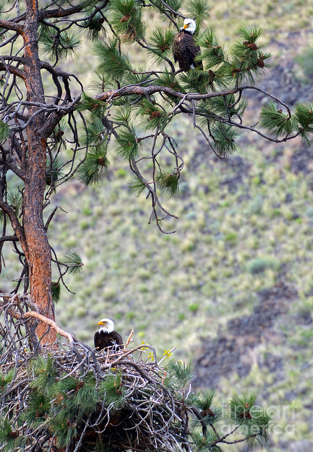 Bald Eagle Photograph - Watching The Nest by Mike  Dawson