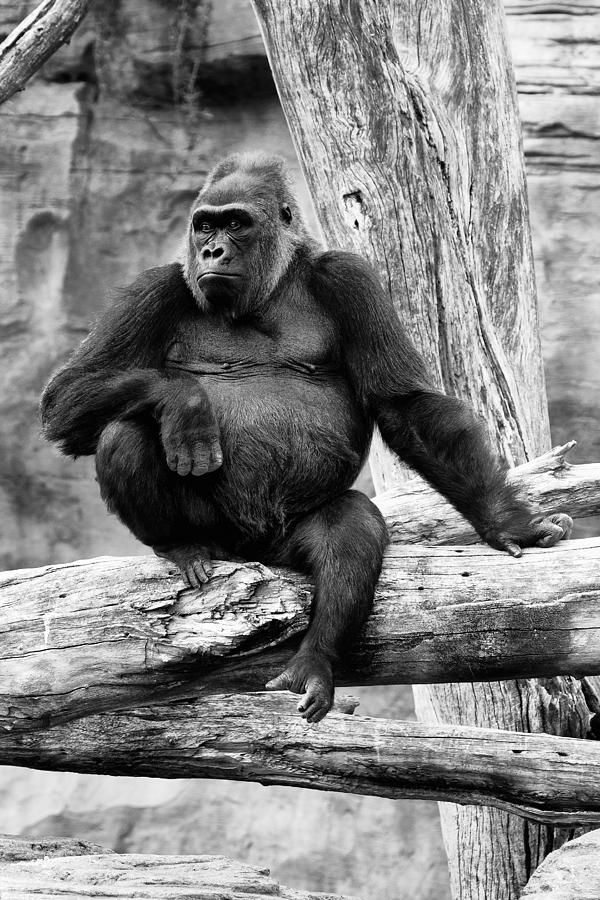 Gorilla Photograph - Watching The Time by Goyo Ambrosio