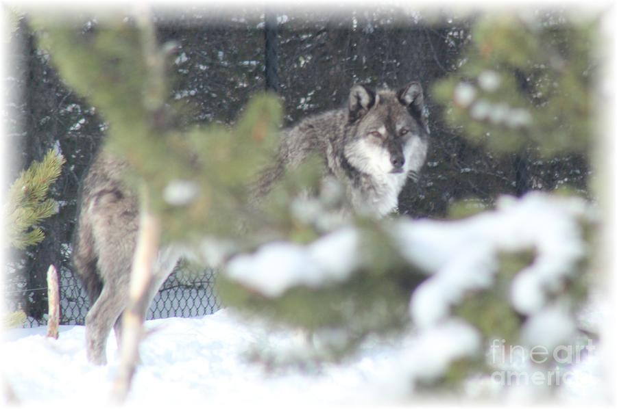 Wolves Photograph - Watching You by Brenda Henley