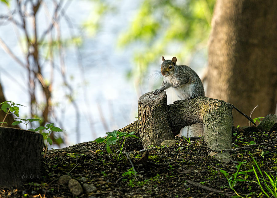 Squirrel Photograph - Watching You Watching Me by Bob Orsillo