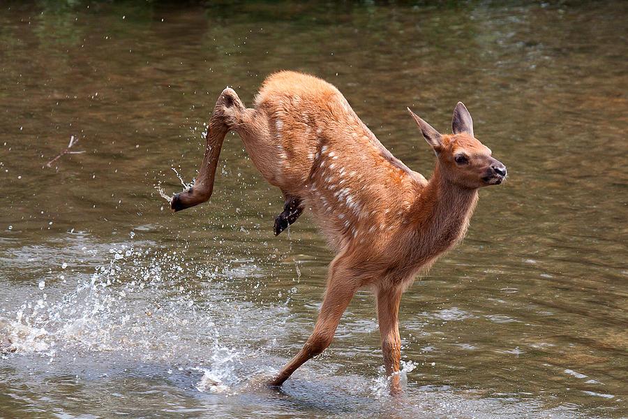 Elk Photograph - Water Baby by Jim Garrison