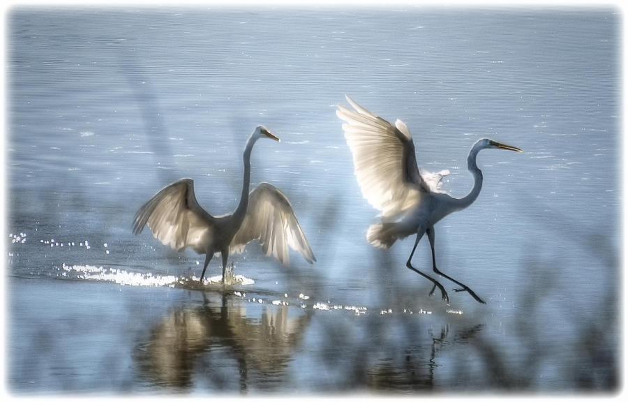White Egret Photograph - Water Ballet  by Saija  Lehtonen