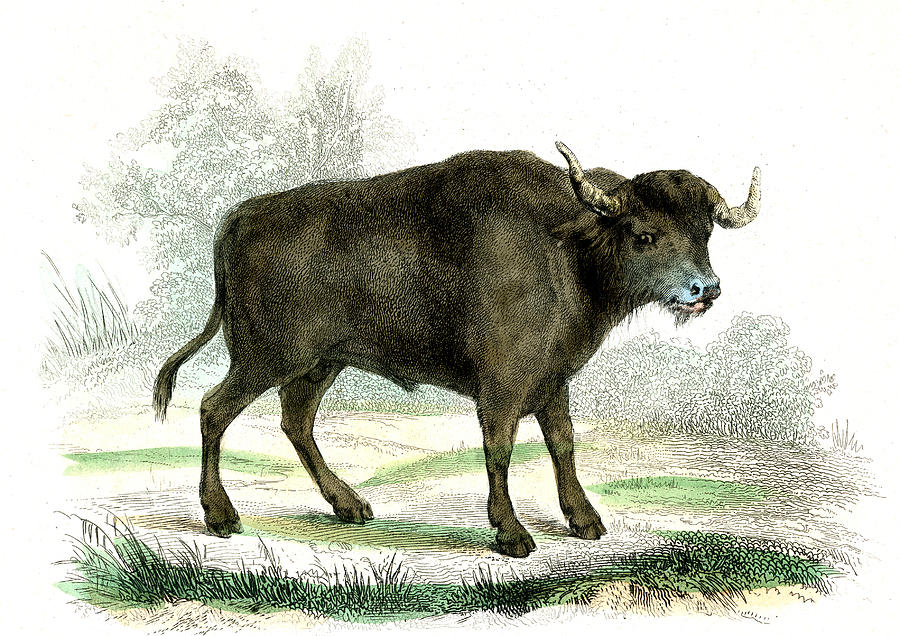 Nobody Photograph - Water Buffalo by Collection Abecasis