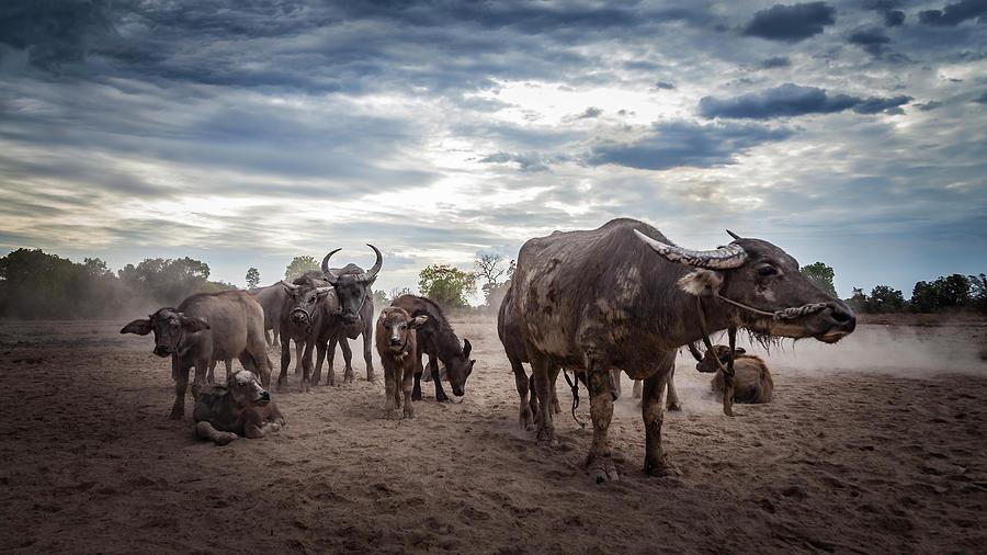 Water Buffalos Photograph by Www.sergiodiaz.net