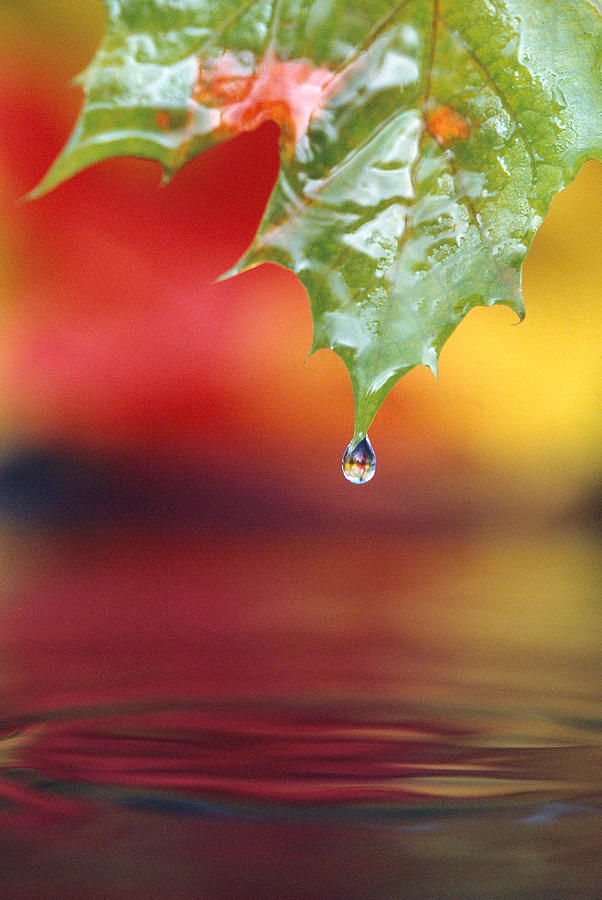 Acer Photograph - Water Dripping by F. Stuart Westmorland