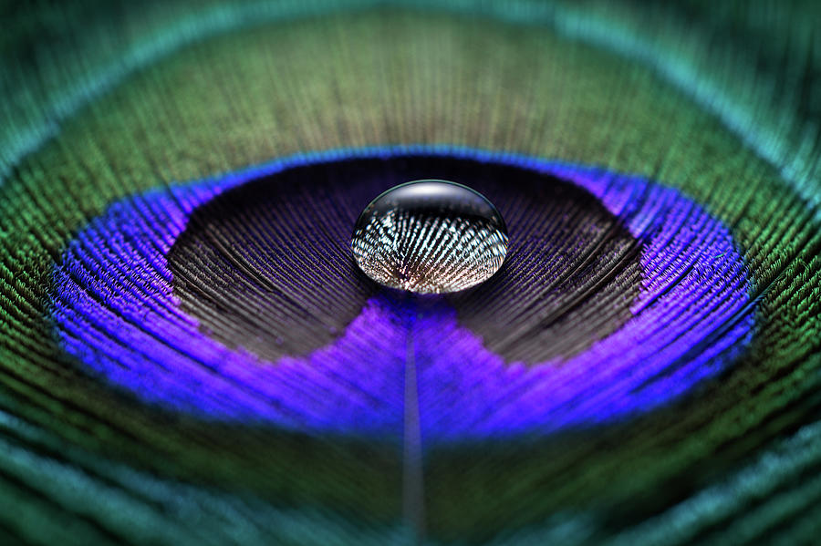 Water Drop On Peacock Feather Photograph by Miragec