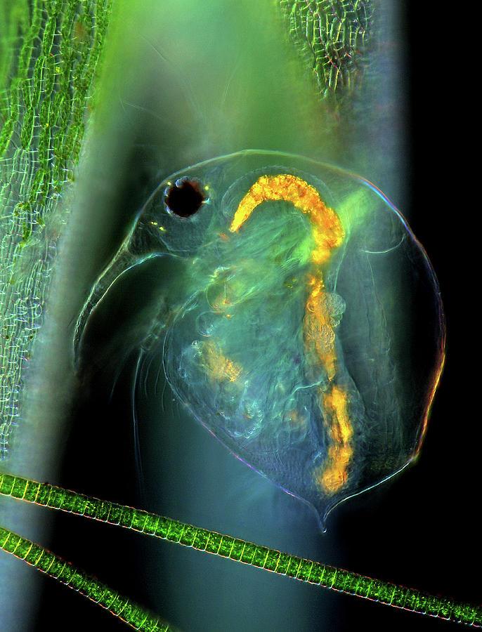Aquatic Photograph - Water Flea And Desmid On Sphagnum Moss by Marek Mis