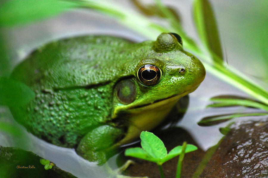 Green Frog Photograph - Water Garden by Christina Rollo