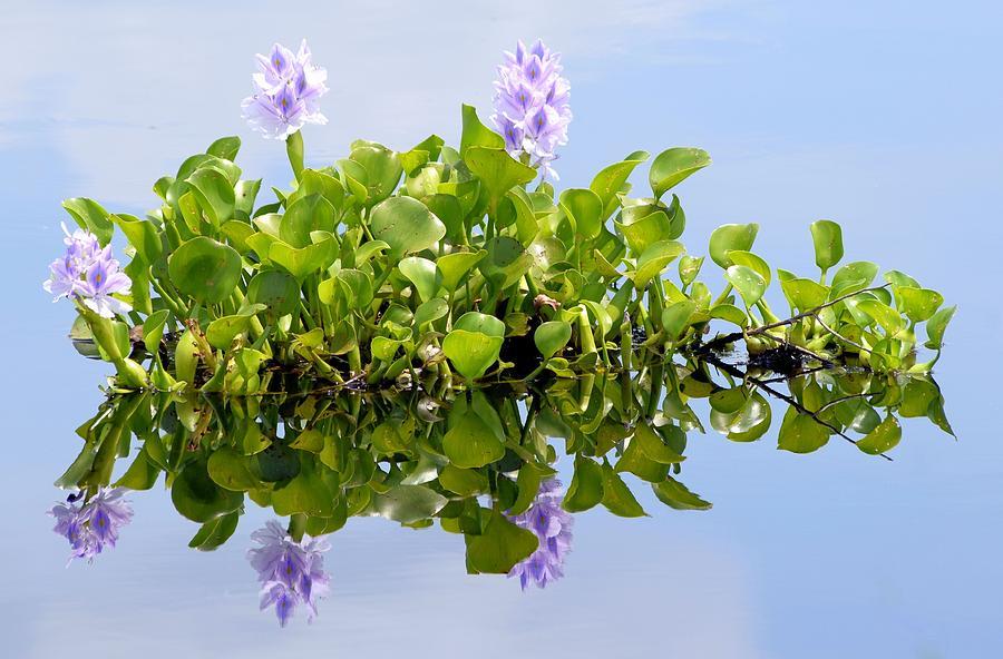 Hyacinth Photograph - Water Hyacinth 1 by Sheri McLeroy