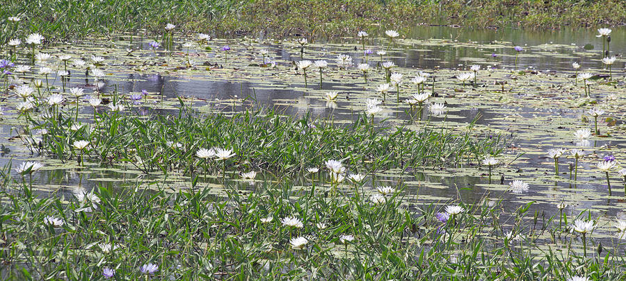 Water Photograph - Water Lilies by Gordon  Grimwade