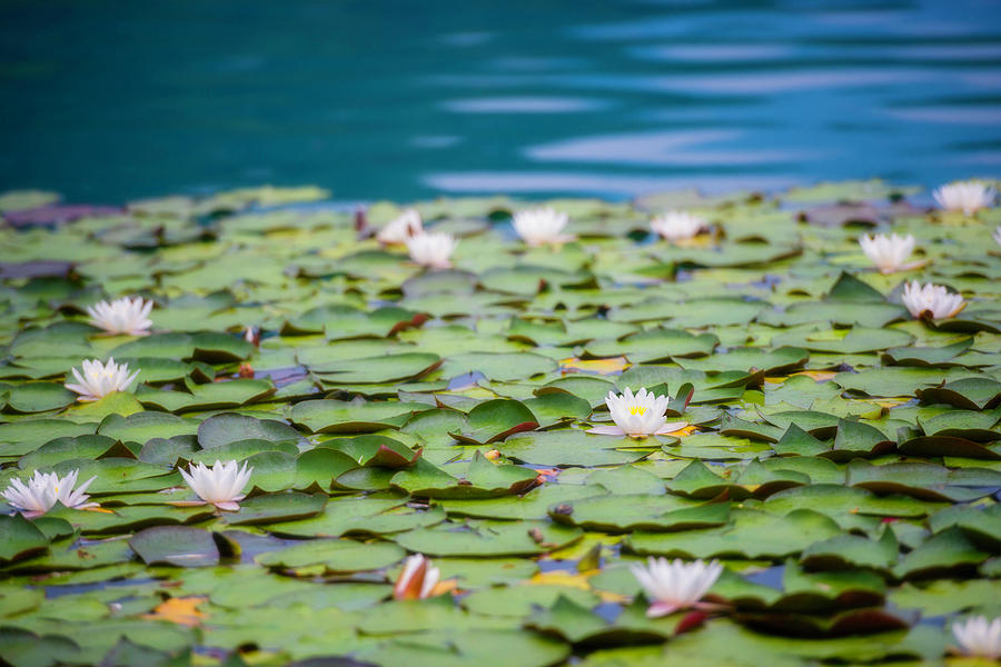 Water Lilies Photograph by Vm