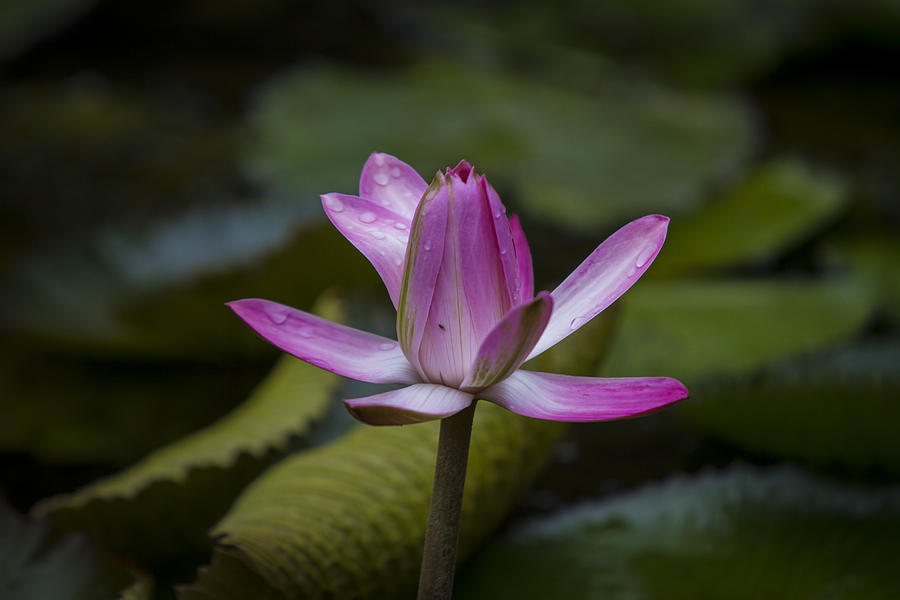 Water Lilly Photograph - Water Lillies8 by Charles Warren