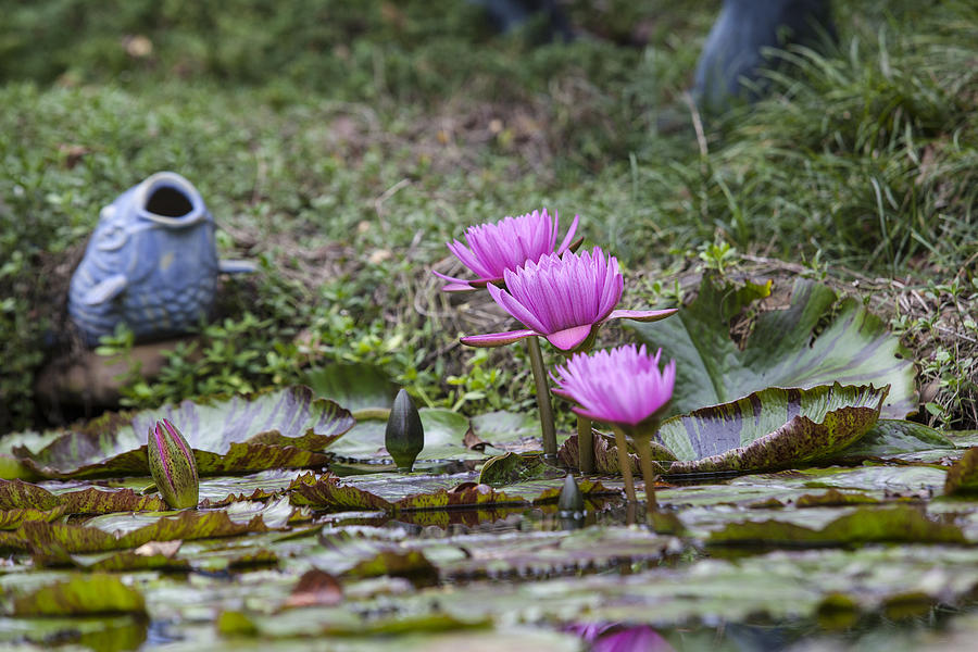 Water Lilly Photograph - Water Lilly Trio by Charles Warren