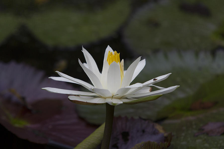 Water Lilly Photograph - Water Lilly7 by Charles Warren