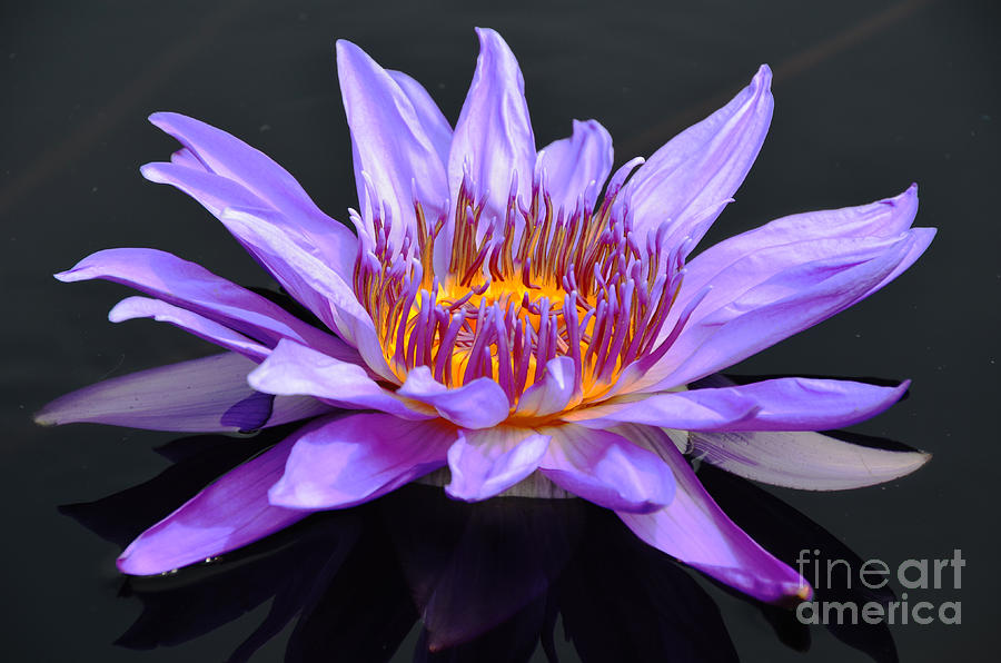 Water Lily - Aquarius by Scott D Welch