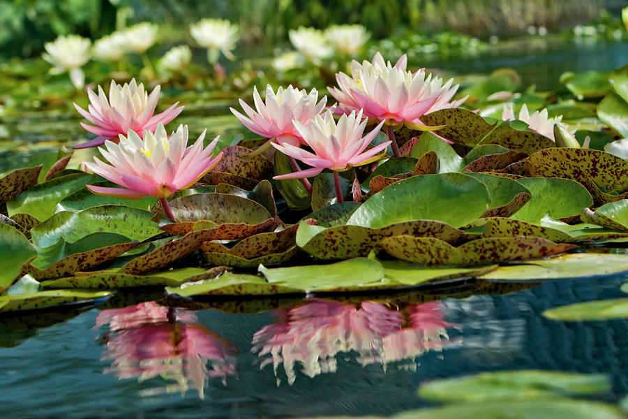 Adam Jones Photograph - Water Lily And Lily Pads, Como Park Zoo by Adam Jones