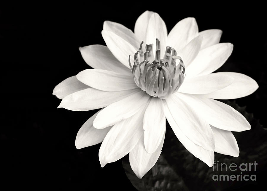 Landscape Photograph - Water Lily Ballerina by Sabrina L Ryan