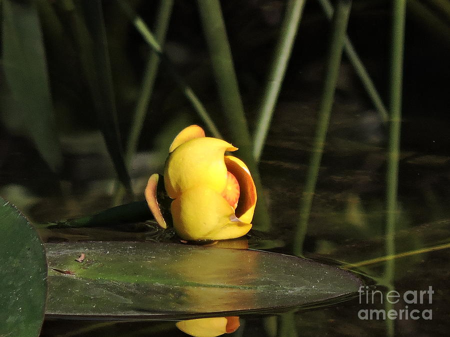 Lily Photograph - Water Lily Bud by Marilee Noland