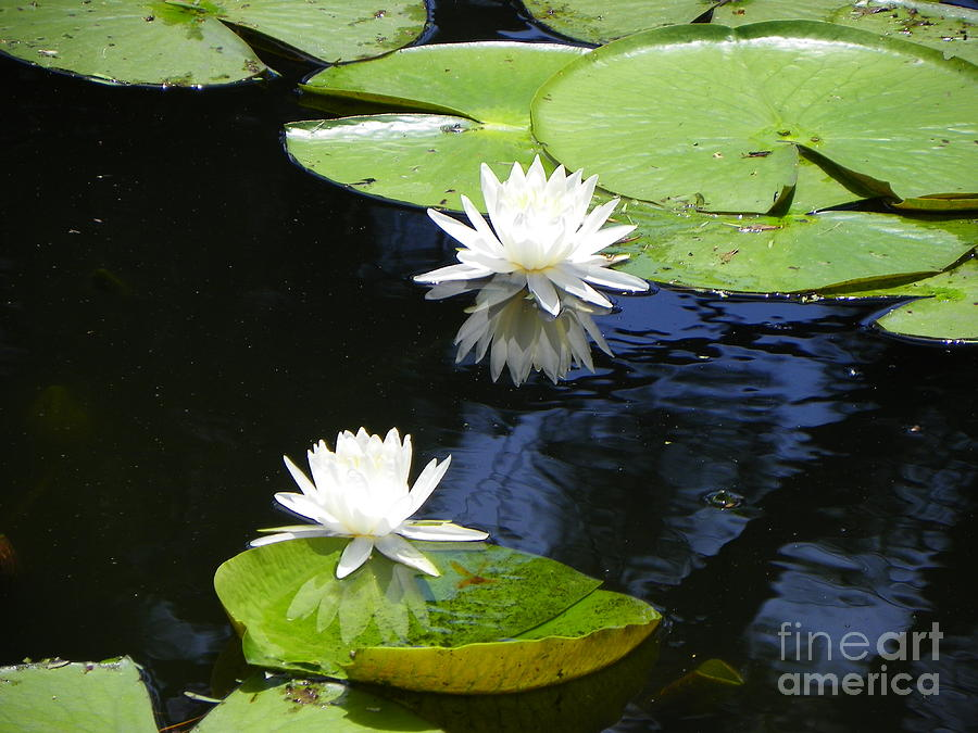 Water Lily Photograph - Water Lily by Carolyn Bistline