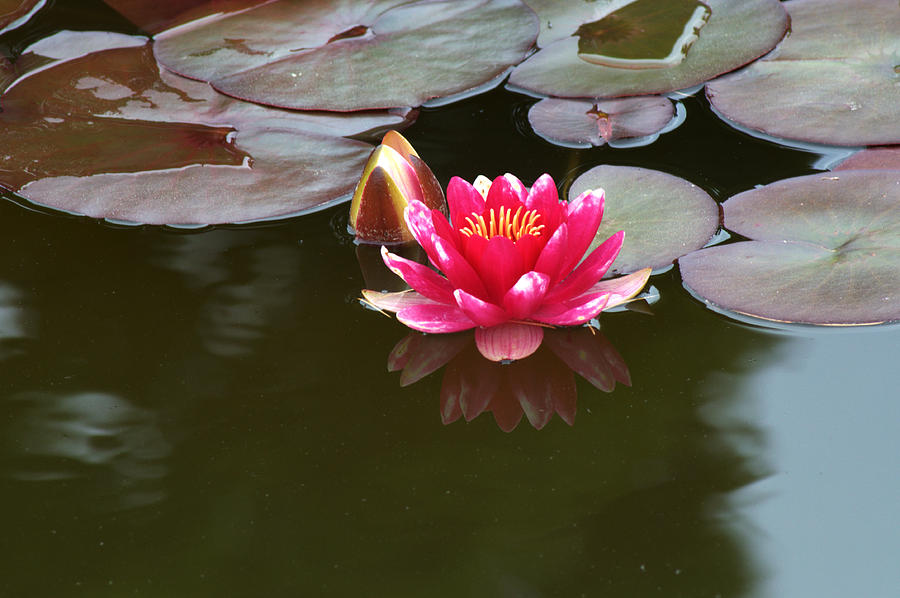 Water Lily Photograph - Water Lily by Chris Day