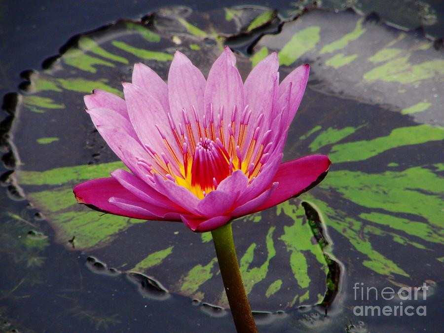 Flower Photograph - Water Lily by Cynthia Merino