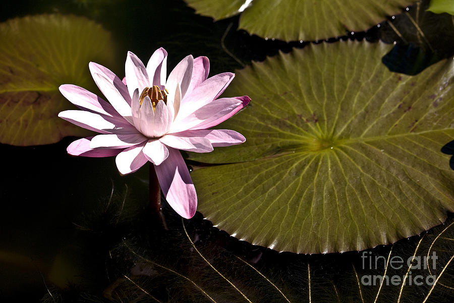 Waterlilies Photograph - Water Lily by Heiko Koehrer-Wagner
