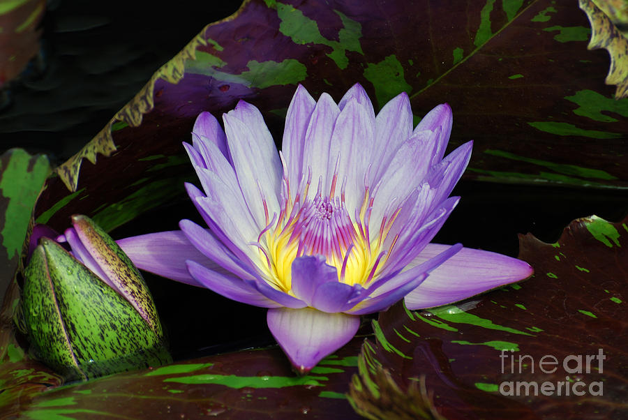 Water Lily Leopardess by Scott D Welch
