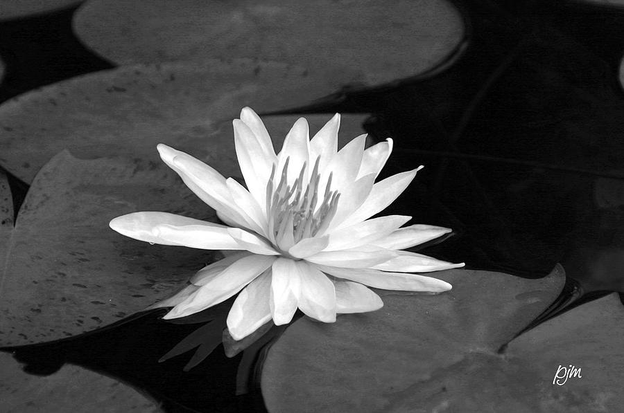 Water Lily Photograph - Water Lily On Pad by Phil Mancuso