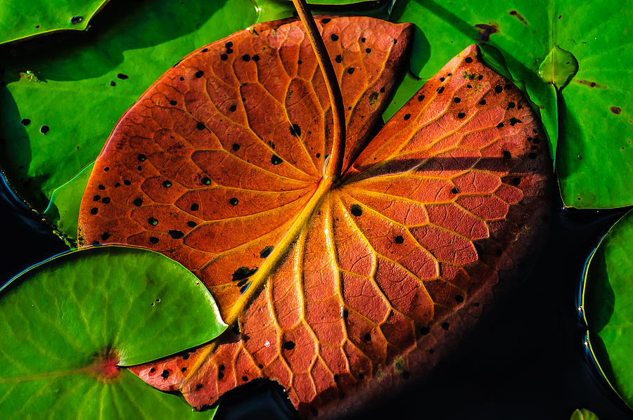 Lily Pads Photograph - Water Lily Pad by Louis Dallara