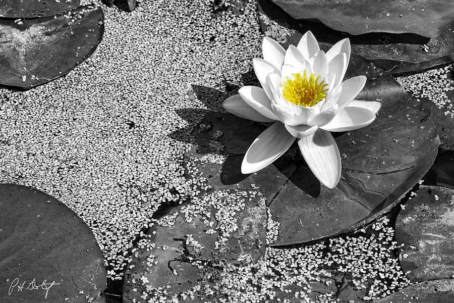 Conservation Area Digital Art - Water Lily by Phill Doherty