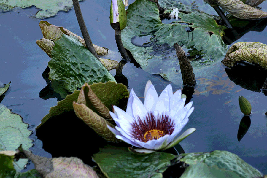 Water Photograph - Water Lily by Sharon McLain