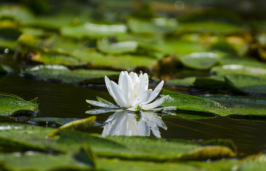 Water Lily Photograph - Water Lily With Reflection by David Tennis