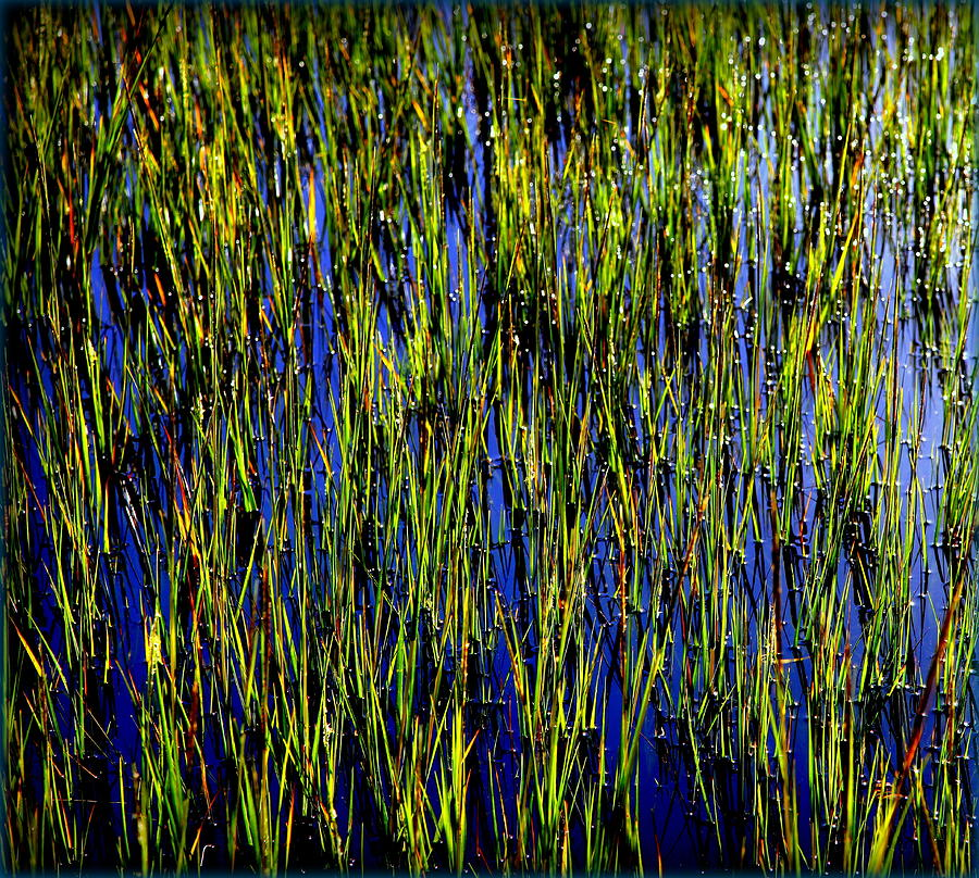 Marsh Photograph - Water Reeds by Karen Wiles