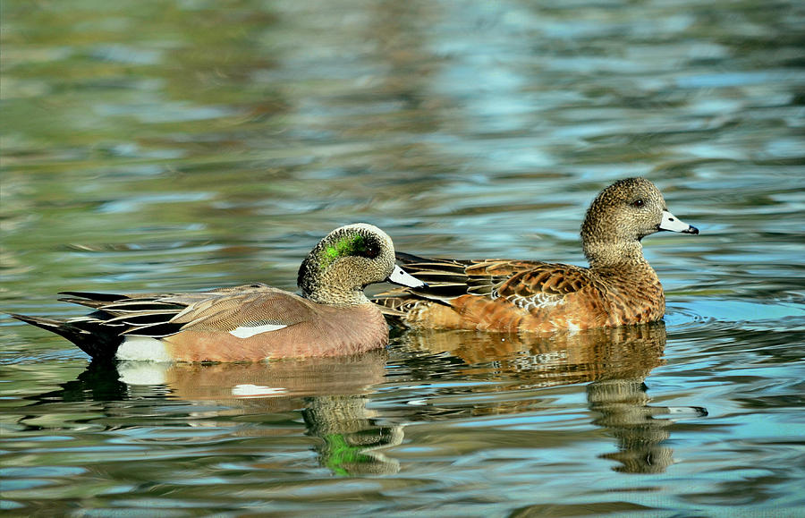American Wigeon Photograph - Watercolors In Nature by Fraida Gutovich