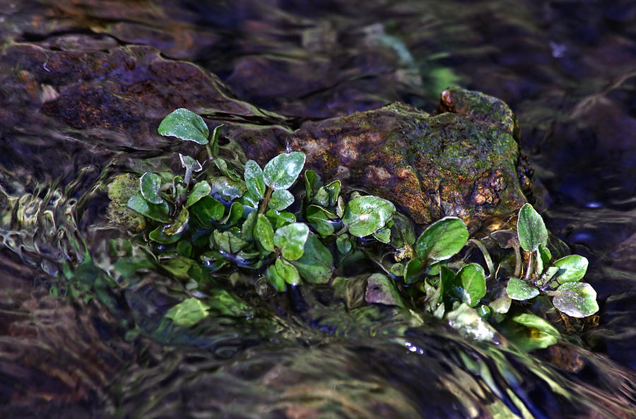 Watercress Photograph - Watercress Wet And Wild by Leda Robertson