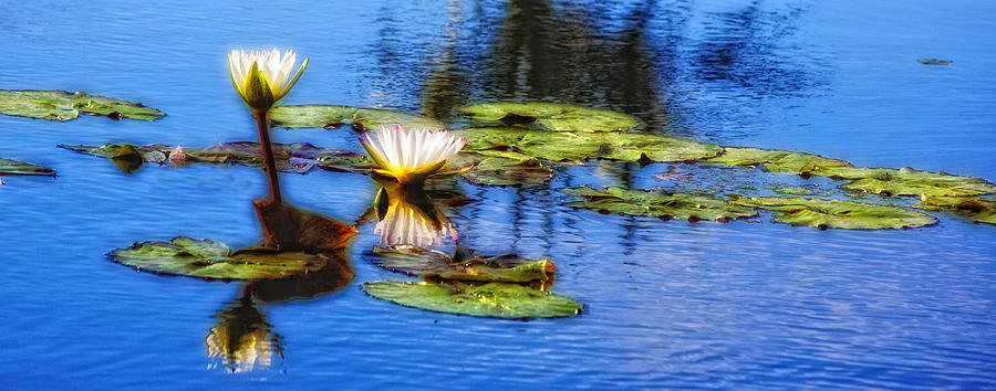 Waterlilies by Carol Kinkead