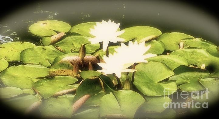 Photo Stream Photograph - Waterlilies by Lynn R Morris