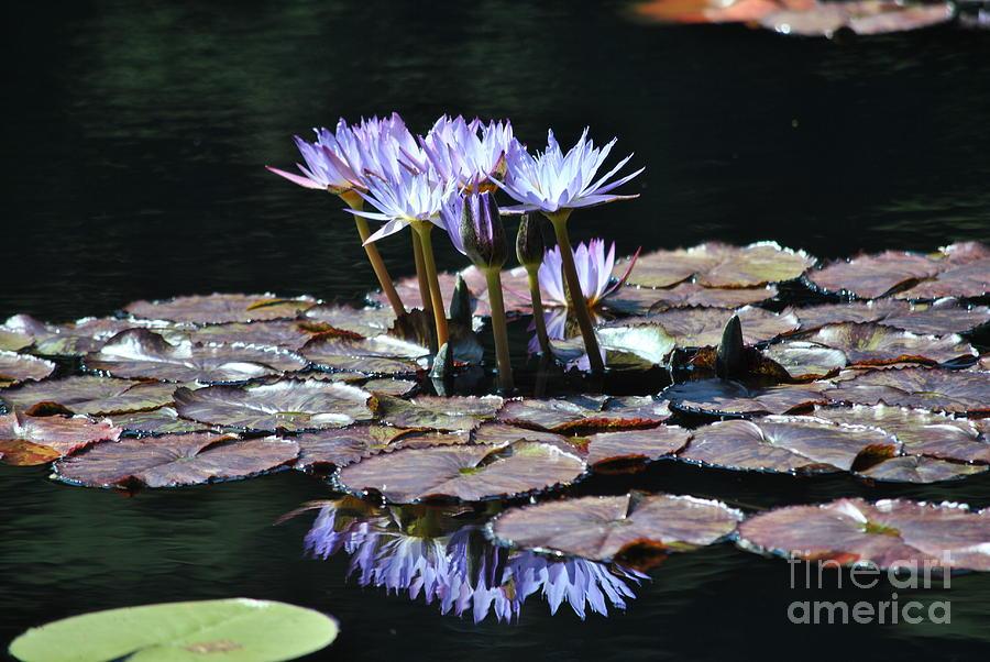 Waterlily Photograph - Waterlilies by Paulina Roybal