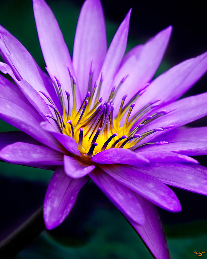 Waterlily Photograph - Waterlily #23 by Chris Lord