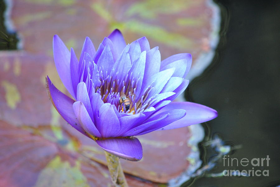 Waterlily Photograph - Waterlily And Bee by Paulina Roybal