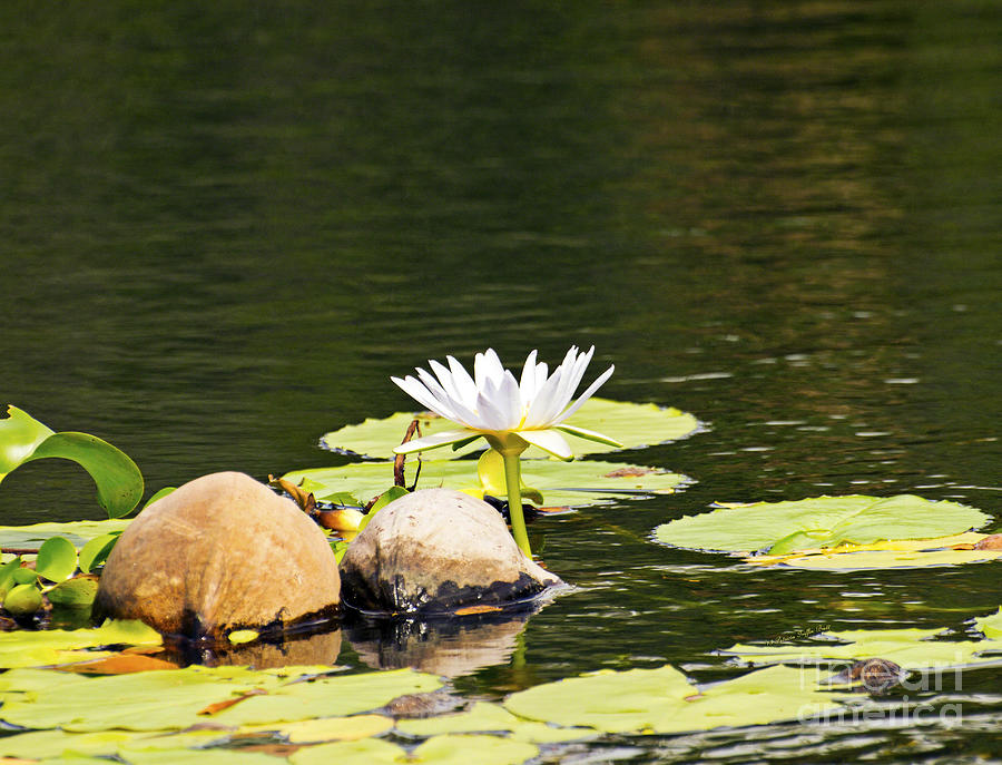 Waterlily and Coconuts by Patricia Griffin Brett
